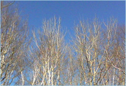 naked birch branches against a blue sky