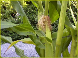 a close up of a blue corn plant showing leaves and an immature ear of corn with burgundy-colored silks emerging from the top of the ear
