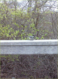 a chickadee on a railing against a background of new spring foliage and bare branches