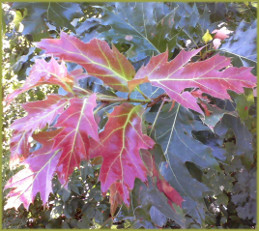 oak leaves in shades of red, gold, green