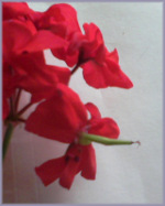 red geranium blossom with seed pod