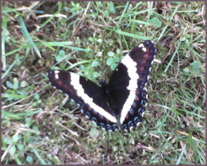a black butterfly with wings partially open, looking like the shape of a heart, on a background of grass and clover