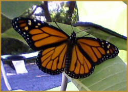 Monarch butterfly with wings fully spread, resting on a milkweed plant