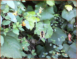 a black and yellow spider on a background of jewelweed foliage